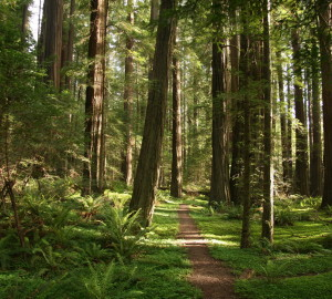 California's state parks have so much to offer, yet are underutilized. Pictured is Humboldt Redwoods SP, where League supporters have protected 50,000 acres.
