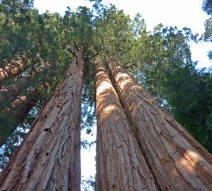 Giant sequoia trees