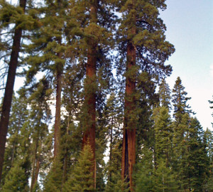 Fire-suppressed sequoia grove – note the large fire scar on the giant sequoia on the right.
