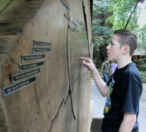 Young visitor looking at tree rings