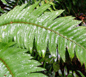 Emily Limm found that western sword fern absorbed the most moisture from fog. Photo by Emily Burns