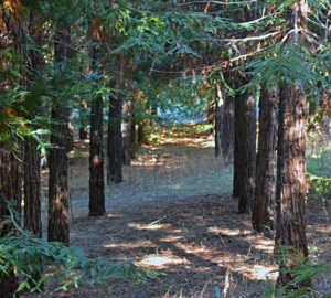 Researchers sampled coast redwoods' DNA at the Russell Research Station in Contra Costa County, California. Photo by Richard S. Dodd