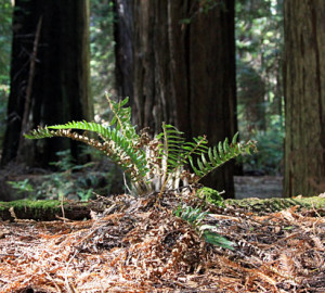 Redwood Soil Microbes Can Adapt to Climate