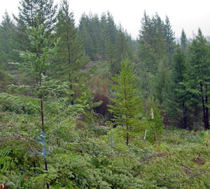 In Mill Creek forest, tree removal experiments explored how to bring old-forest features (such as giant redwoods and diverse plants and animals) to young forests like this one as quickly as possible. Photo by Kevin L. O'Hara