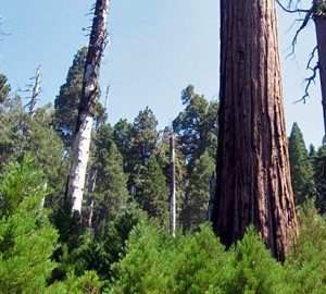 Good giant sequoia regeneration was strongly associated with canopy gaps. Photo by Marc D. Meyer