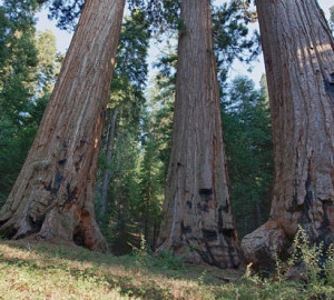 A study confirms that northern giant sequoia groves have lower genetic diversity than central and southern groves. Photo by Bob Wick