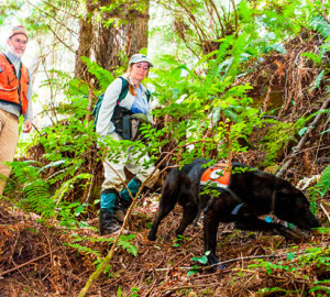 For a League-sponsored study, Wicket sniffs for the scent of a white-footed vole, one of the rarest and least understood mammals in North America, and one of the only mammals endemic to the coastal coniferous forests of Northern California and Oregon. Photo by Humboldt State University
