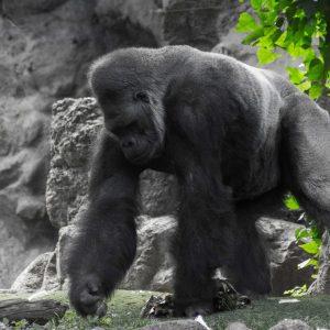 Gorila nížinná v Loro Parque