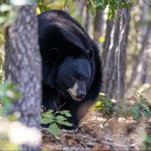 Xena Black Bear