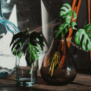 monstera propagating in water