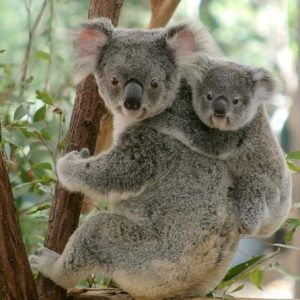 A mother koala and her child at Lone Pine Koala Sanctuary
