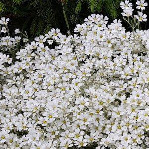 Hopeahärkki - Cerastium tomentosum - Silverarv - Siemenet täältä!
