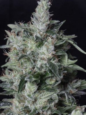A-Train von TH Seeds