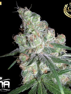 Chocolope (DNA Genetics) 13 regular Seeds