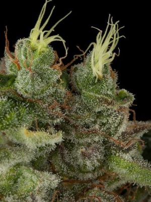 Bubba Kush (Humboldt Seeds), 5 regular Seeds
