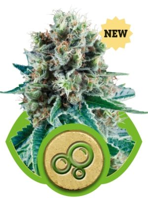 Bubble Kush Automatic (Royal Queen Seeds), 5 automatic Seeds