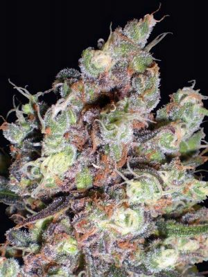 Cotton Candy (Delicious Seeds), 5 feminisierte Samen