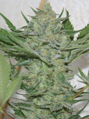 Critical Haze (Resin Seeds) feminisiert