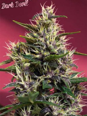Dark Devil (Sweet Seeds), autofeminisierte Samen
