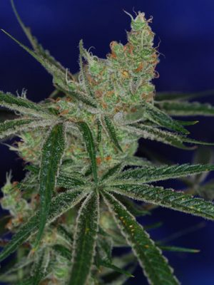 Jacks Cleaner 2 (TGA Subcool), 5 oder 10 regular Seeds