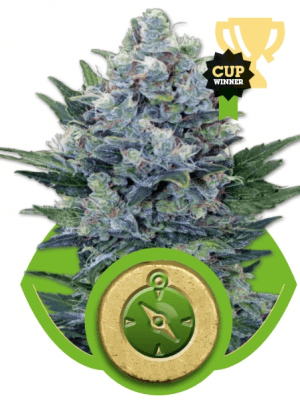Northern Light Automatic (Royal Queen Seeds), 3 autofeminisierte Samen