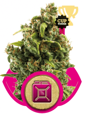 Sour Diesel (Royal Queen Seeds), 5 feminisierte Samen