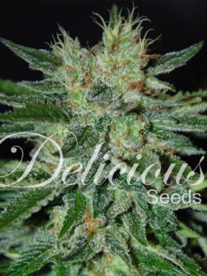 Sugar Black Rose (Delicious Seeds), 5 feminisierte Samen