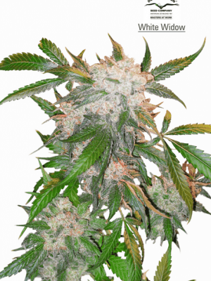 White Widow (Dutch Passion), 3 feminisierte Samen