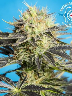 Dandy Dance von Tropical Seeds