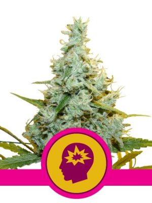 AMG von Royal Queen Seeds