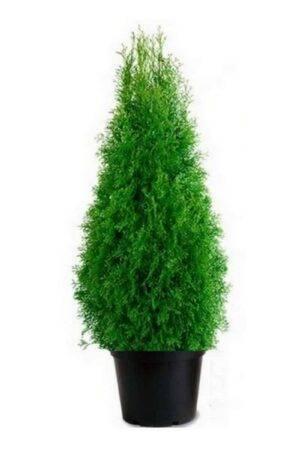 Thuja Smaragd 140-160 cm