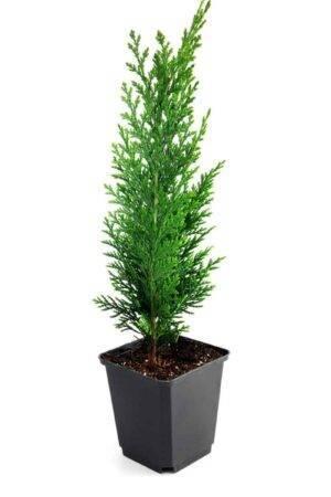 Thuja Smaragd 60-80 cm-Krukodlad