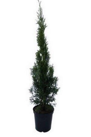 Thuja Smaragd 80-100 cm, krukodlade