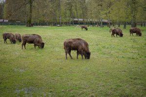Białowieski Park Narodowy - Żubry