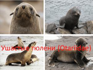 Ушастые тюлени (Otariidae)