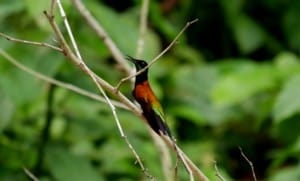 Shiripuno Lodge - Fiery Topaz is among the most beautiful hummingbirds from the Amazon Rainforest in Ecuador
