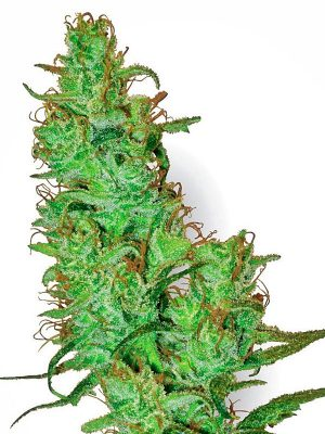 Jack-Herer-White-Label