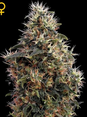 Sweet Mango Auto (Green House Seeds), automatic Samen