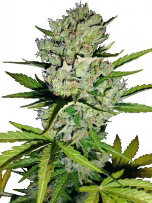 Super Skunk Automatic (White Label), 5 autoflowering Samen