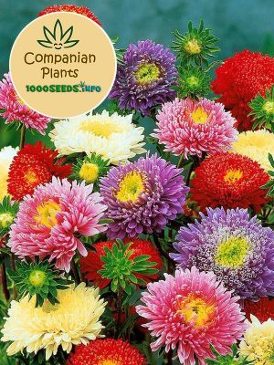 Companion-Plants-Crisantemo