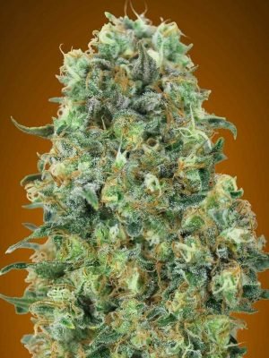 Critical Mass von Advanced Seeds