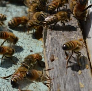 Do Bees swarm in Fall and have a lot of work to do. Carolina Honeybees