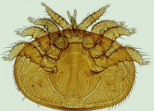 Varroa Mite reproduction favors the mite over the honey bee.
