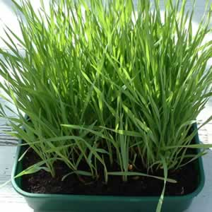Growing Spelt Grass in trays