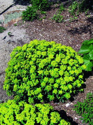 Cushion Spurge in Flower