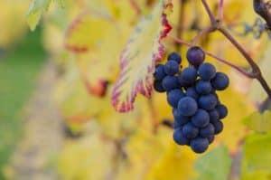 de voordelen van druivenpitolie