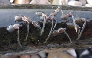 Havlus på nyfanget havørred