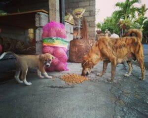 Bali Street Dogs