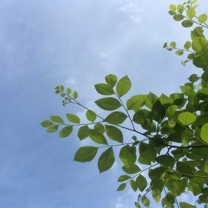 Yellowwood leaves