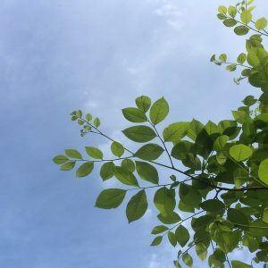 Yellowwood leaves
